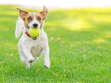 A Funny Dog Jack Russell Terrier Running Fast With A Small Tennis Ball On Green Lawn Outdoor At Summer Day. Copy-space Left