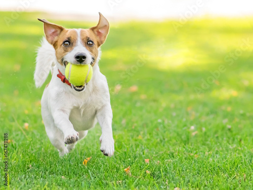 A funny dog Jack Russell Terrier running fast with a small Tennis ball on green lawn outdoor at summer day. Copy-space left © Tetiana