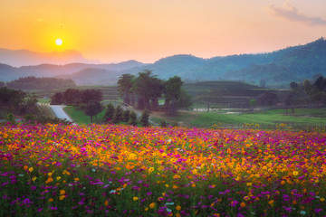FototapetaLandscape of cosmos flower field in the sunset at singpark in chiangrai, Thailand