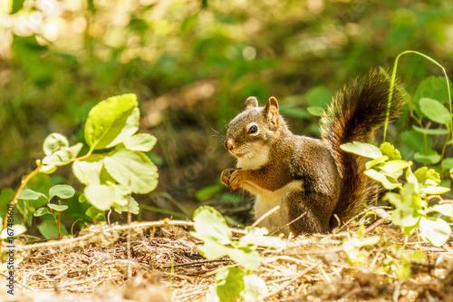 In de dag Zwavel geel Small Squirrel in summer forest background wild animal