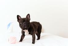 Cute French Bulldog Pet On Whi...