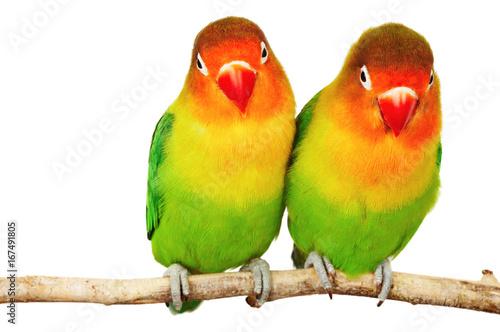 Photo  Pair of lovebirds