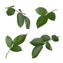 Set Of Rose Leaves. Detailed R...