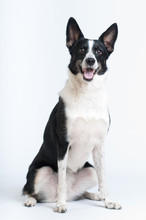 Mixed Breed Black And White Dog At Studio
