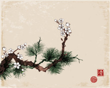 Sakura Cherry Tree In Blossom And Green Pine Tree Branch On Vintage Background. Traditional Oriental Ink Painting Sumi-e, U-sin, Go-hua. Hieroglyph - Clarity, Great Bleesing