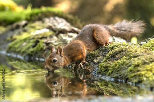 Zdjęcie XXL Czerwona wiewiórka