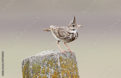 Valokuvatapetti Skylark on nice background