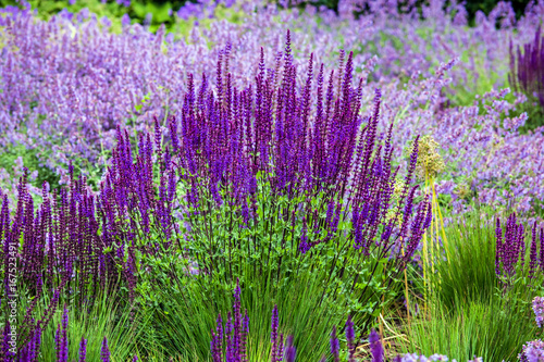 Printed kitchen splashbacks Purple Salvia flower (disambiguation) the largest genus of plants in the mint family, Lamiaceae, with nearly 1000 species of shrubs, herbaceous perennials, and annuals.[