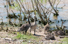 Candian Or Canada Geese Goslin...