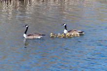 Candian Or Canada Geese WIth G...