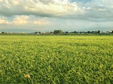 Nice Rice Field At Evening