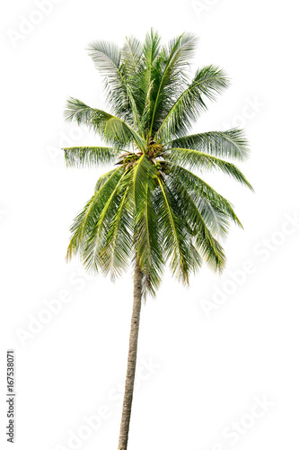 Aluminium Prints Palm tree one coconut palm tree isolated on white background.