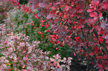 Berries Of Barberry (berberis ...