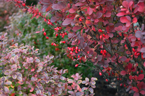 Berries of barberry (berberis thunbergii), decorative autumn plant with red berr Canvas Print