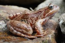 Brown Jumper Frog
