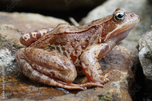 brown jumper frog