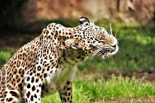 Canvas Prints Leopard Leopard. Fressend. Kauend.