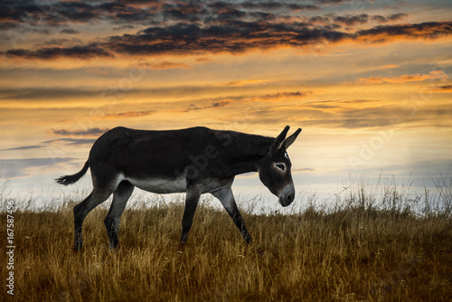Deurstickers Ezel Bellissimo asino in controluce che pascola durante un tramonto