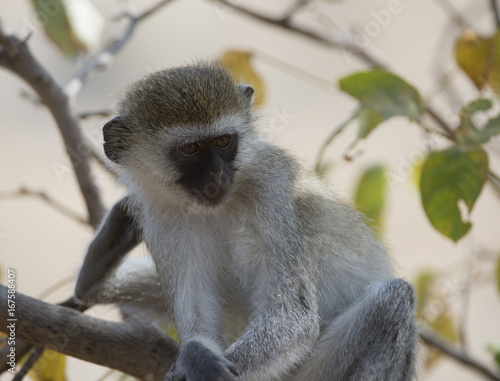 Fotografie, Obraz  Vervet monkey, sitting on branch with arms folded over legs, looking right with green foliage in background