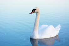 White Swan On A Blue Water Swi...
