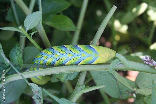 Bruco di farfalla sfinge testa di morto o Acherontia atropos si nutre su pianta Canvas Print