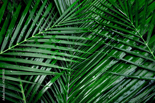 coconut leaf Canvas Print