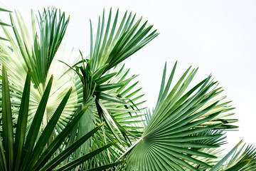 Panel Szklany Podświetlane Liście Fiji fan palm