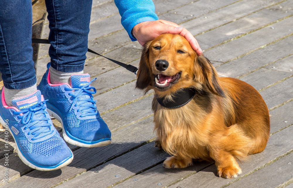 Fototapeta Long haired miniature dachshund getting a pat on the head