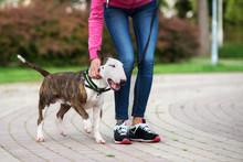 English Bull Terrier Dog On A Walk