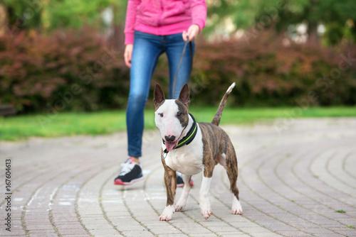 Fotografia english bull terrier dog on a walk