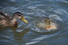 Feeding Bread To Ducks As A Ca...
