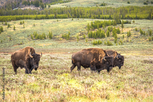 Aluminium Prints Herd of three bison walking in valley
