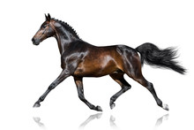Beautiful Bay Stallion Trottin...
