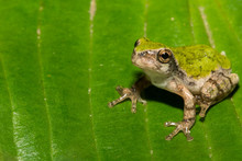 Gray Tree Frog Metamorph