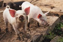 Two Cute Little Pigs