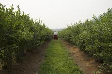 Woman Picking Blueberries Amon...