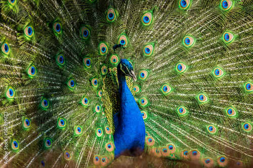 Deurstickers Pauw Male of Indian peafowl
