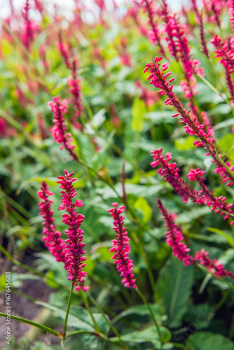 Photo Red flowering Himalayan bistort plants from close