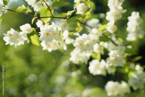 white jasmine flowers in sunny summer evening Poster Mural XXL