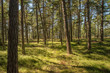Lovely pine forest by the sea
