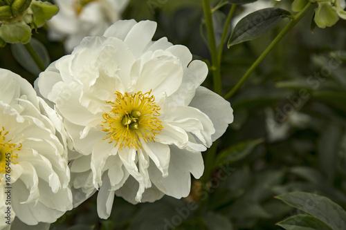 Sunlit windblown blooming peony flower crisp white petals with sunlit windblown blooming peony flower crisp white petals with vibrant yellow center mightylinksfo