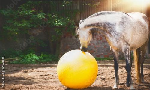 Fotografie, Obraz  Gray horse looking at big yellow ball in sand paddock