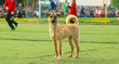 Stray dog try to play football