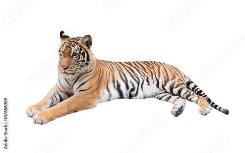 In de dag Tijger female bengal tiger isolated