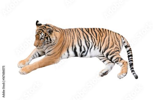 Foto auf AluDibond Tiger female bengal tiger isolated