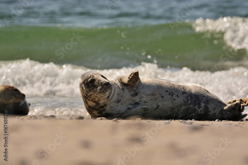 Tuinposter Purper The harbor (or harbour) seal (Phoca vitulina), also known as the common seal in the white sand beach on the Düne island near Helgoland island in east Germany