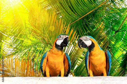 Couple of beautiful bright tropical Macaw birds with blue-and-yellow feathers (Ararauna), sitting on wooden board with green sunny palm trees behind background.