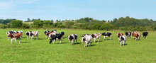 Dairy Cow In Pasture. Panorama...
