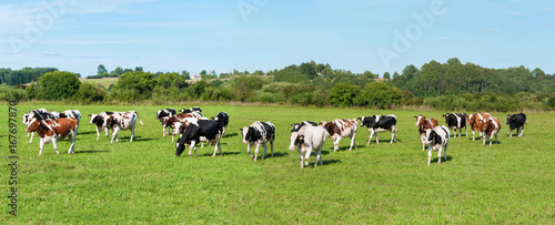 Acrylic Prints Cow Dairy cow in pasture. Panorama. Banner