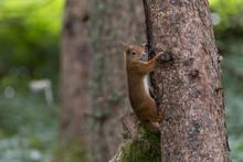 Red Squirrel (Sciurus Vulgaris) Climbing Tree